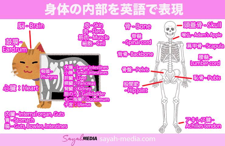 身体の内部を英語で表現