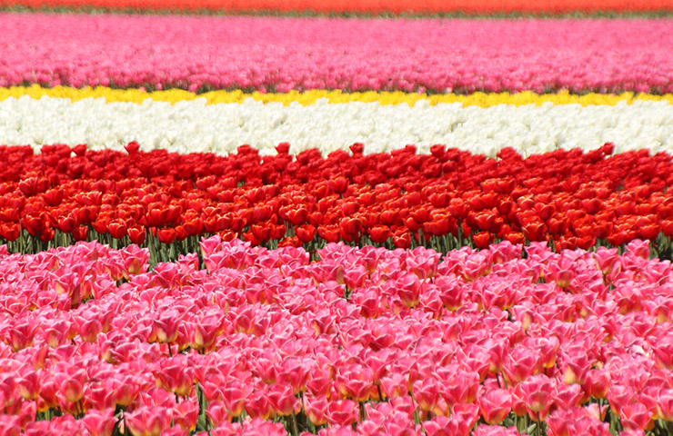 pink-red-colorful-tulip-field