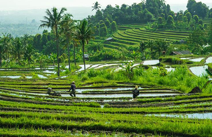 田んぼで生産している労働者たち